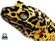 Leopardgecko Giant Lemon Frost Männchen