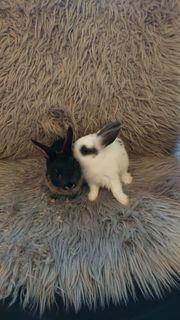 2 Kaninchen Babys Zuverkaufen