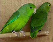 Grünbürzel Sperlingspapagein Paar