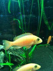 Aulonocara Fire Fisch Nachzuchten