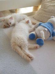 Reinrassige Ragdoll Kätzchen