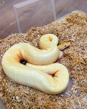 Python Regius Spider Albino 1