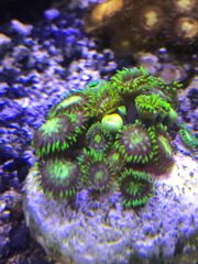 Zoanthus Radioactive Dragon Eye Meerwasser