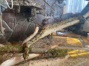 Boa constrictor XXL Terrarium