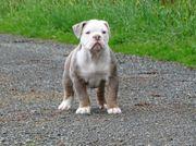 Englisch Bulldogge Oeb bulldog