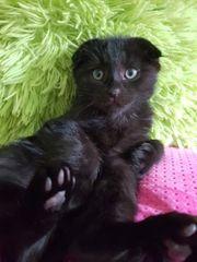 BKH Kitten Scottish Fold Katzenbabys