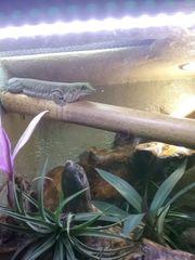 Taggecko Phelsuma Standingi Querstreifen Taggecko