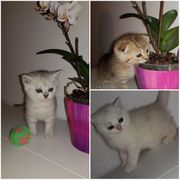 BKH Kitten British Kurzhaar Katzen