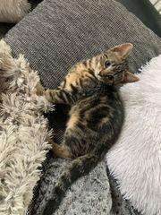 Bengal Kitten Katze