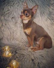 Chihuahua Deckrüde in Traumfarbe