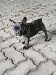 französischen bulldogen