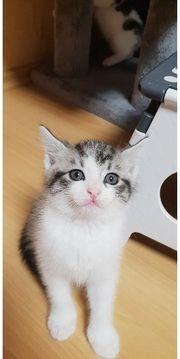 Maine Coon Kitten mix