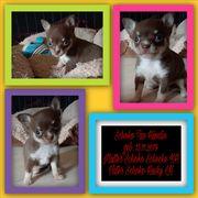 Zuckersüßer Chihuahua Welpe ist auf