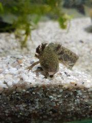 axolotl jungtiere