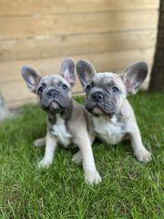 Wunderschöne Welpen der französischen Bulldogge
