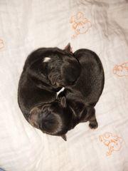 Chihuahua- Welpen Langhaar mit Ahnentafel