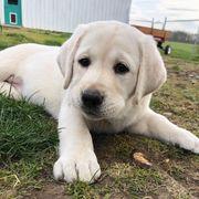 Labrador Labrador mini welpen ndn