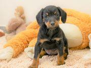 Selbstbewusster Terrier Mix Rüde Junghund