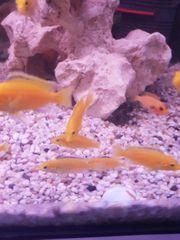 Nachzucht Labidochromis Caeruleus Yellow Malawi