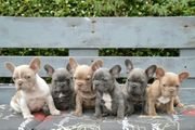 Super süße Französische Bulldoggen Welpen