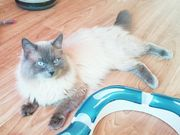 Ragdoll Deckkater blue point