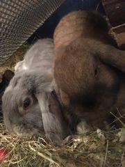 Süße junge Widder-Kaninchen