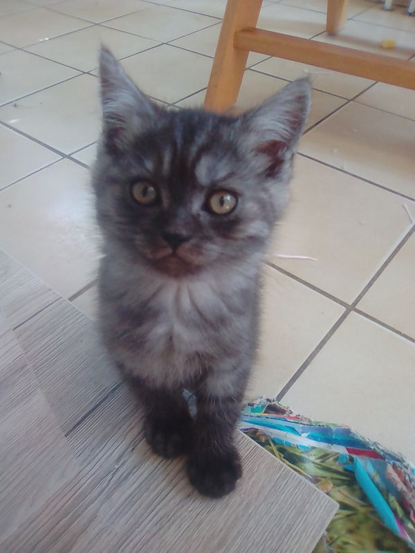 BKH Kitten 11 Wochen alt