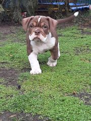 Old English Bulldog Englische Bulldoggen