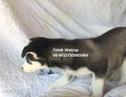3 süße Siberian Husky Welpen