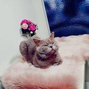 BKH Deckkater in Farbe Lilac