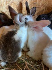 11 süße Kaninchen 9 Wochen