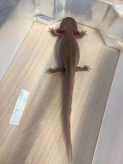 Axolotl Adultes Weibchen 32cm groß