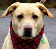 BRONA Labrador Mischling - die ideale