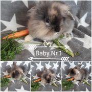 Kaninchen MiniLop Zwerglöwenköpfen Mix