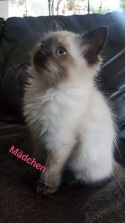 Neva Masquarade Sibirische Kitten