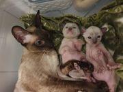 Reinrassige hypoallergische Cornisch Rex Kitten