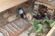 Meerschweinchen Böckchen aus Vereinszucht