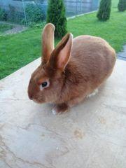 Kaninchen Rammler Satin rot