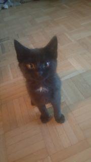 Schwarzes katzenbaby