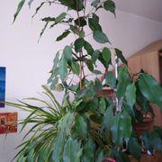 Zimmerpflanzen Ficus