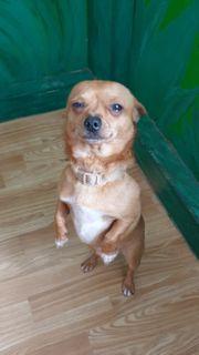 2 Chihuahua Hunde abzugeben rüde