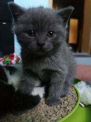 5 bezaubernde BKH Kätzchen Scottish