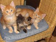 Maine Coon Kitten Kätzchen