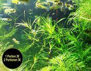 Guadeloupe Nixkraut Wasserpflanzen Versand