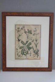 2x handcolorierte Kupferstiche mit Pflanzendarstellung