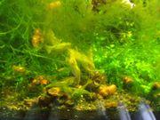 Giftgrüne Grüne Zwerggarnele - Caridina cf