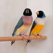 Prachtfinken Gouldamadinen Paar 2020 blutsfremd