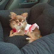 Süßer reinrassiger langhaariger Chihuahua-Welpe