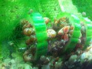 rote Schnecken fürs Aquarium