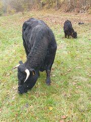 Welsh Black Mutterkuh mit Kalb